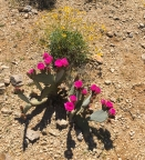 JT flowering prickly pear cactus
