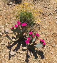 JT flowering prickly pear cactus